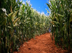 Corn maze for Mc Donalds olympics 2008 game trailer ´the lost ring`, directed by Mischa Rozema at Post Panic